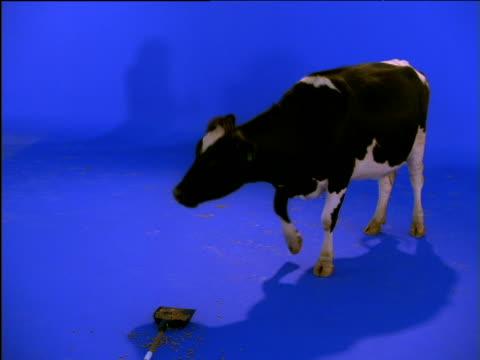 Cow chews its food