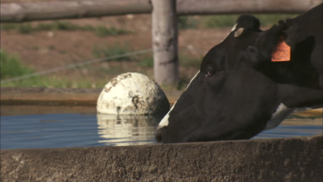 A cow drinks from a water trough.