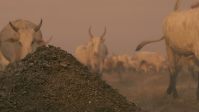 cow dung fuel and walking cattle / sudd swamps, south sudan, africa - herbivorous stock videos & royalty-free footage