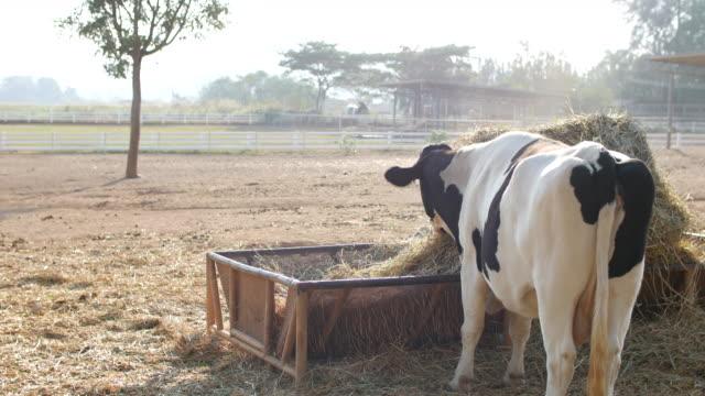 vidéos et rushes de vache mangeant la nourriture avec la lumière du soleil de matin - produit laitier