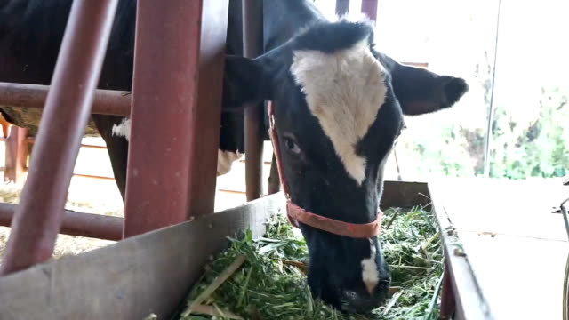 cow eating grass in farm. animal feeding.
