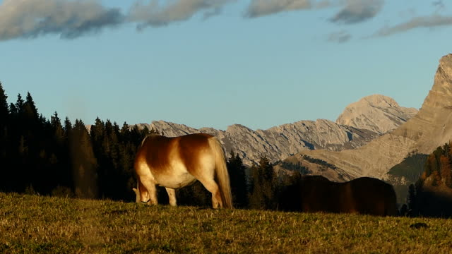 cow eating grass in meadow, italy - seiser alm stock videos & royalty-free footage