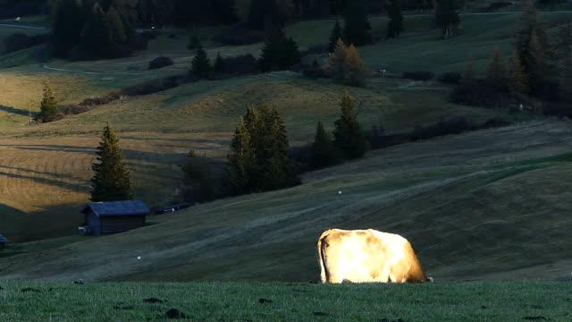 stockvideo's en b-roll-footage met koeien eten gras in de weide, italië - foerageren