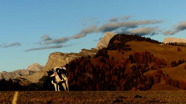 イタリアの牧草地で草を食べる牛 - cattle点の映像素材/bロール