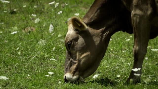 vídeos y material grabado en eventos de stock de vaca comer hierba-super cámara lenta - oreja animal