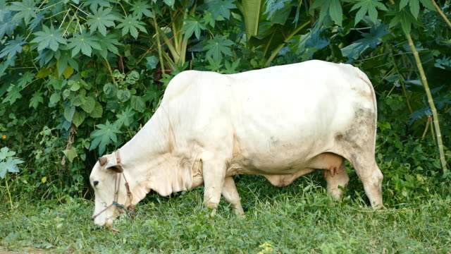 Cow eating grass with peace of mind