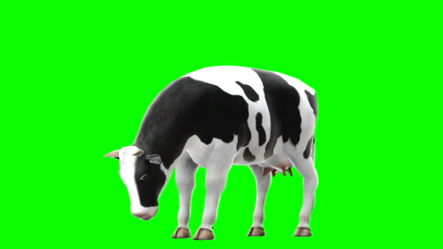 Cow Eating Green Screen (Loopable)