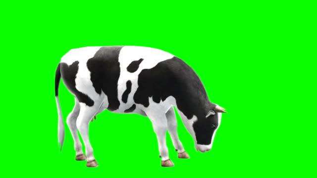 vídeos de stock e filmes b-roll de cow eating green screen (loopable) - acabamento mate