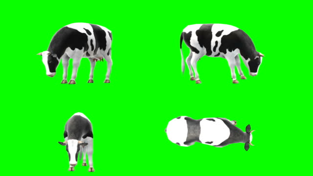 cow eating green screen (loopable) - green matte stock videos & royalty-free footage