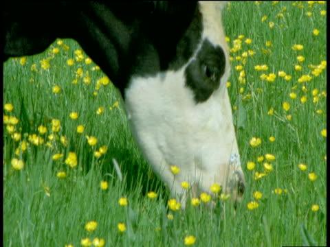 Cow eats buttercups, Devon