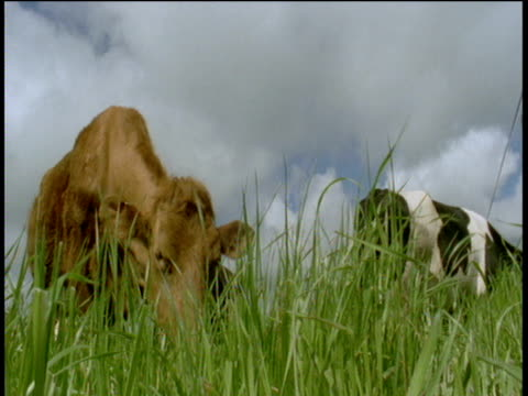 Cow eats grass, Devon