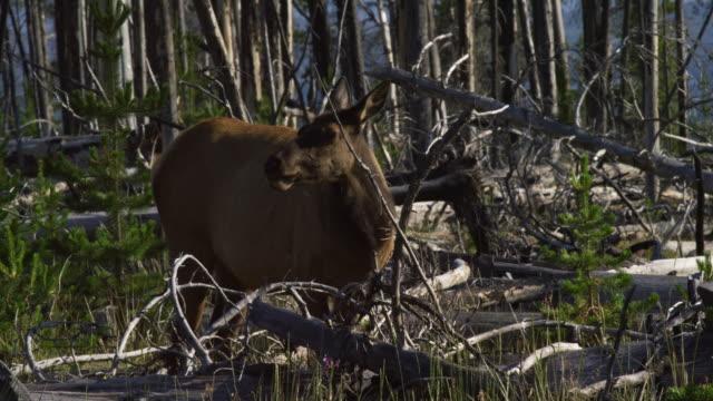 vídeos y material grabado en eventos de stock de un alce de vaca pasta en el bosque por árboles caídos en el parque nacional yellowstone en un día soleado - cazador