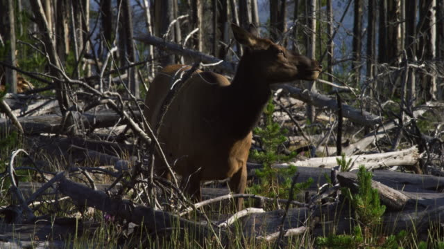 a cow elk grazes in the forest by fallen trees in yellowstone national park on a sunny day - wyoming stock videos & royalty-free footage