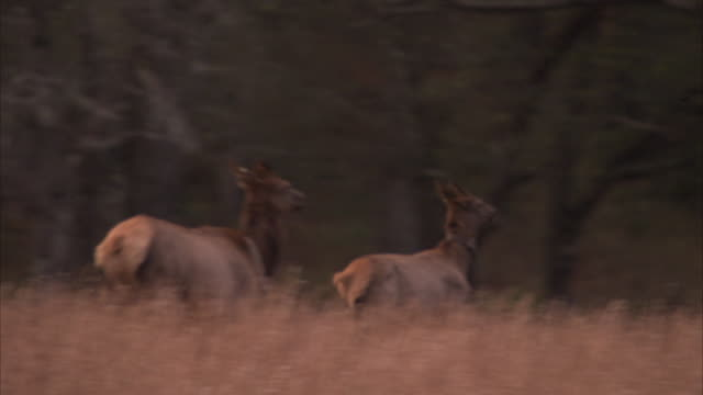 a cow elk leaps over tall grasses. - hirsch stock-videos und b-roll-filmmaterial