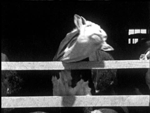 1935 b/w ms cow facing camera rubbing neck back and forth over barn railing and scratching in discomfort / usa - shaking stock videos & royalty-free footage