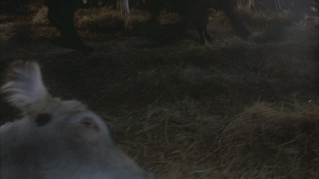 a cow falls to the ground as cattle run by. - dead animal stock videos and b-roll footage