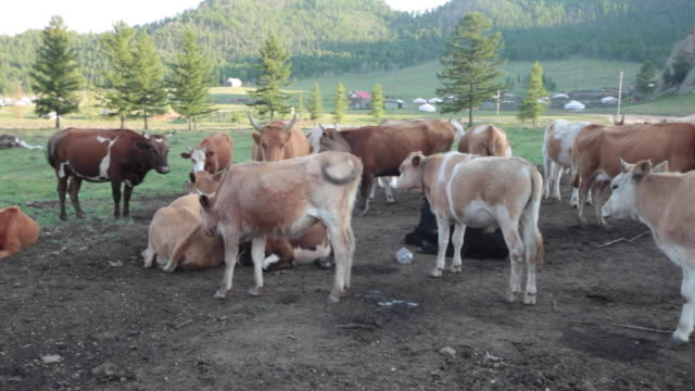 vídeos de stock e filmes b-roll de cow farm at gorkhi-terelj national park mongolia - ulan bator