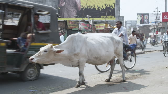 ws cow feeding in middle of busy street / patna, bihar, india - india stock-videos und b-roll-filmmaterial