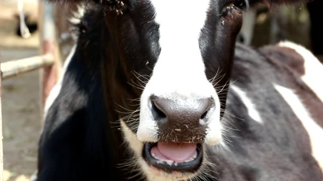 vídeos de stock e filmes b-roll de cow feeding - mastigar