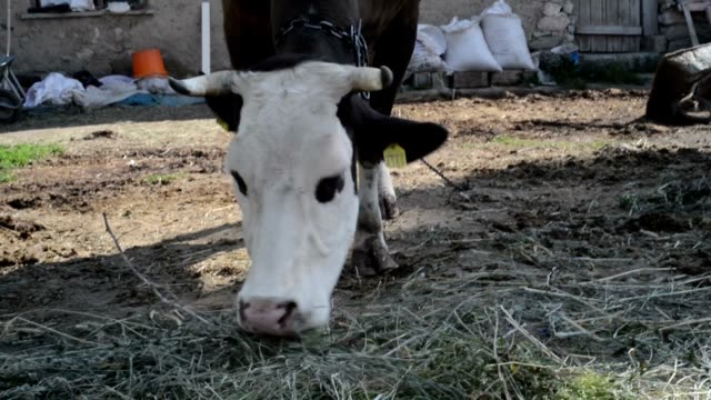 cow feeding - domestic animals stock videos & royalty-free footage