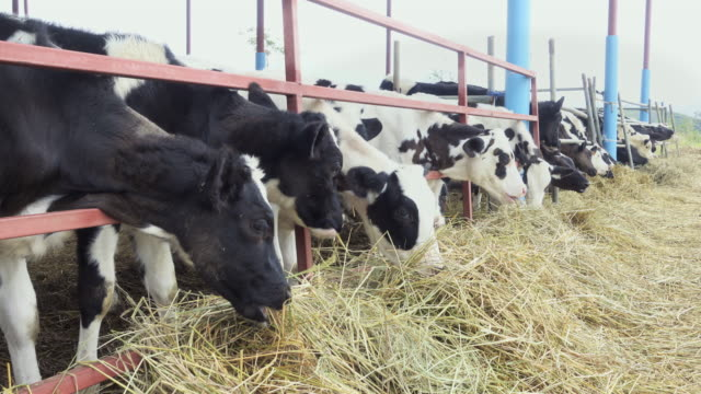 cow feeding - hay stock videos & royalty-free footage