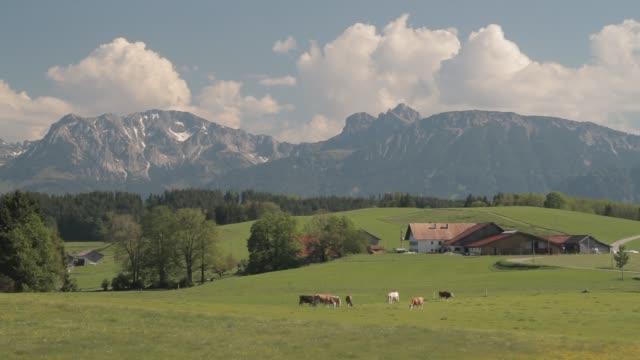 Cow graze in the farm fields of the Alps.