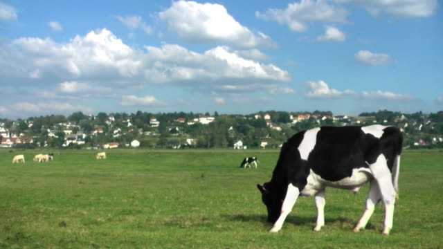 cow grazes in a meadow