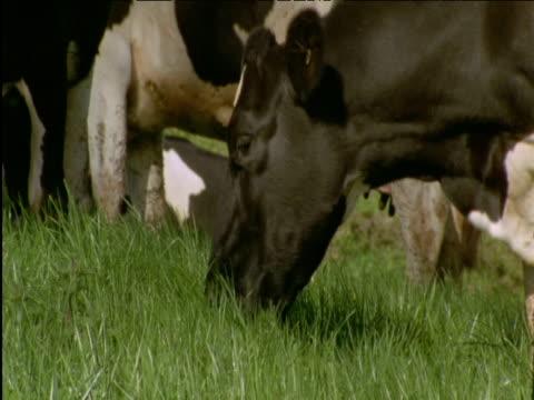 Cow grazes in field