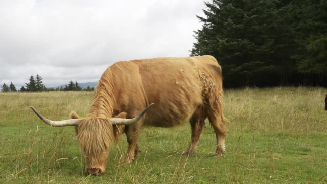cow grazes loudly as calf walks by - scottish highlands stock videos & royalty-free footage
