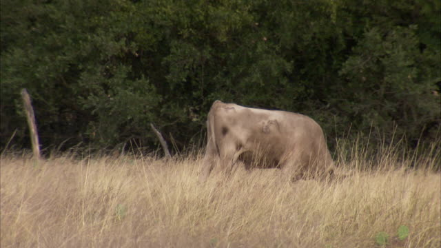 a cow grazes on scrub grass. available in hd. - shrubland stock videos & royalty-free footage