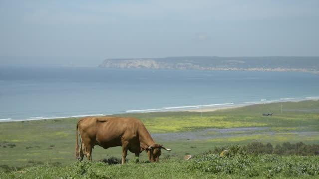 A cow grazes on the coastline of Cadiz province, Spain.