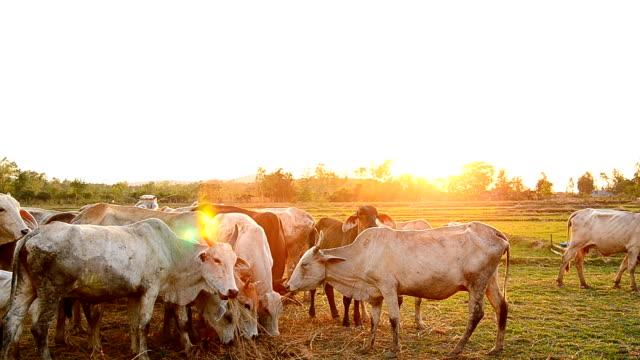 Kühe Grasen auf Wiese mit Sonnenuntergang