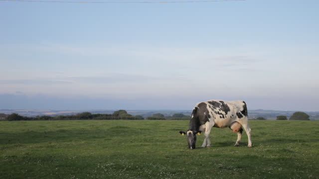 WS LD Cow Grazing in Field / Cornwall, England, UK