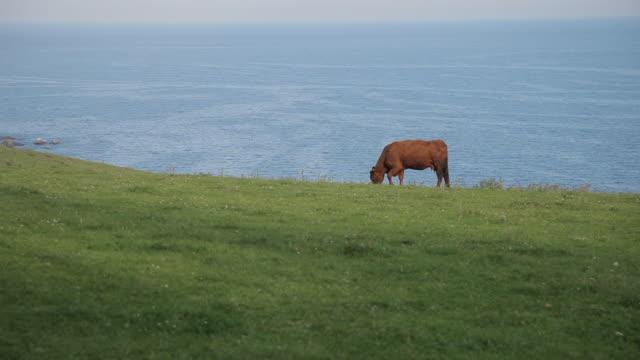 WS Cow Grazing in Field near Sea / Cornwall, England, UK