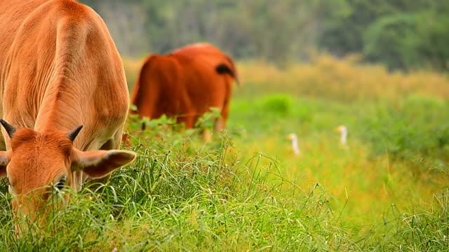 cow grazing in green field