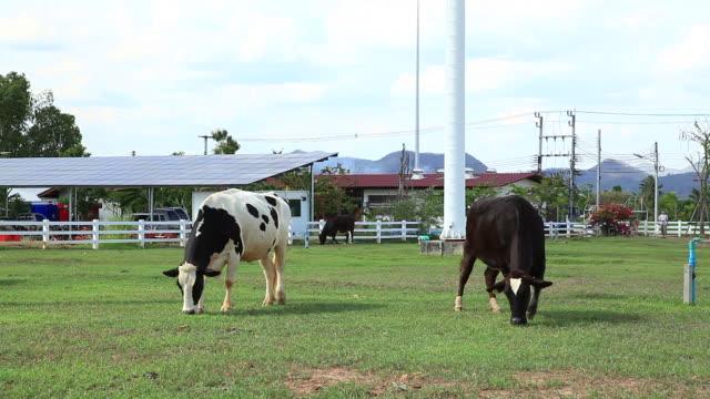 Cow grazing on Field