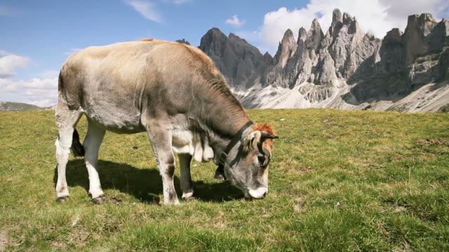 Kühe Grasen auf italienische Dolomiten