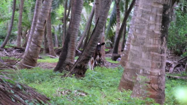 vídeos de stock e filmes b-roll de a cow hides behind a tree in a palm tree forest - mamífero ungulado