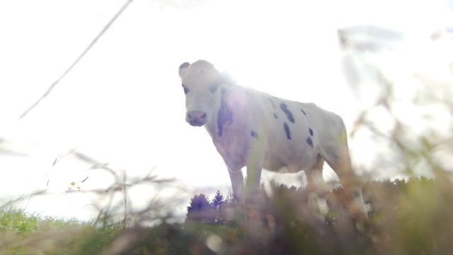 Cow in field standing in meadow from low angle