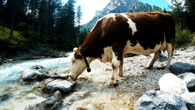 vídeos y material grabado en eventos de stock de la vaca en la naturaleza - tirol