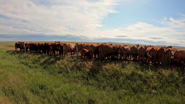 悪い土地国立公園の牛 - バッドランズ国立公園点の映像素材/bロール