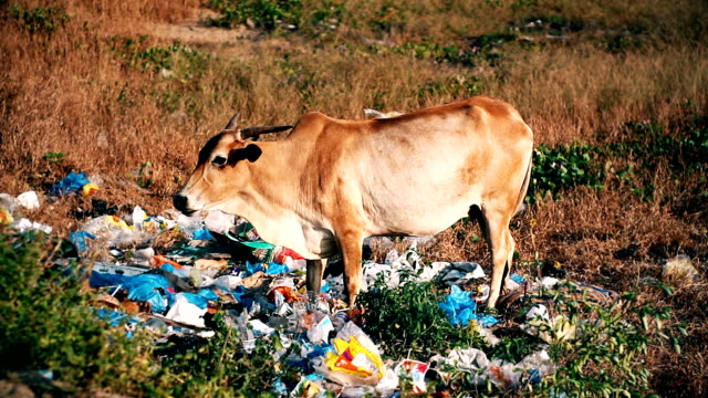 cow in the garbage dump - rubbish stock videos & royalty-free footage