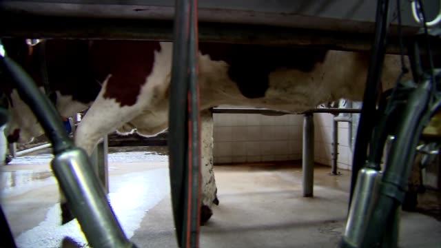 cow legs by milking machine - hoof stock videos & royalty-free footage