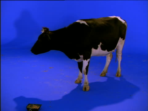 Cow licks its nostrils as it swings its tail