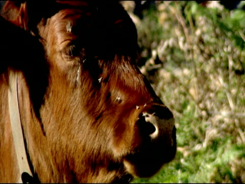 cow (bos taurus) licks nose, autumn, parque natural los alcornocales, andalusia, southern spain - 飼い慣らされた点の映像素材/bロール