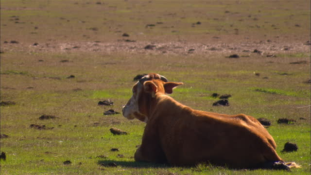 MS, Cow lying in field, Sebring, Florida, USA