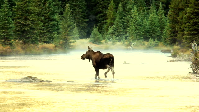 cow moose crossing glowing mountain river - canada stock videos & royalty-free footage