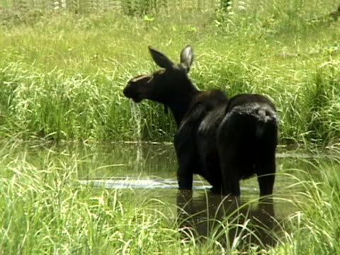 a cow moose drinking - herbivorous stock videos & royalty-free footage