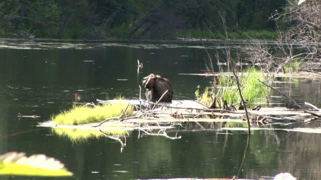 a cow moose forages in chena hot springs, alaska. - foraggiamento video stock e b–roll