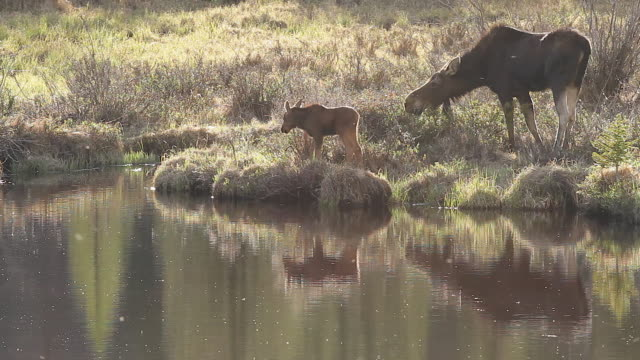 ws ms cow moose with calf (alces alces) backlit grazing alongside of a beaver pond at sunset - due animali video stock e b–roll